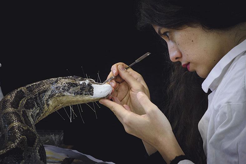 Diese Abbildung zeigt eine Frau von der Seite, wie sie gerade eine Schlange mit einem speziellem Werkzeug präpariert.